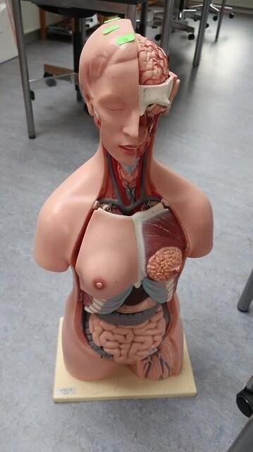 Anatomimodel torso vagos