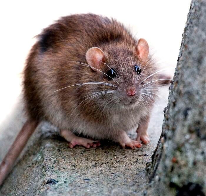 rødovre kommune rotter