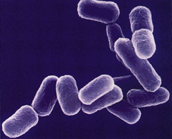 bakterier underarter