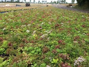 Sedumbakkerne står på markerne og gror tæt inden de pakkes til levering