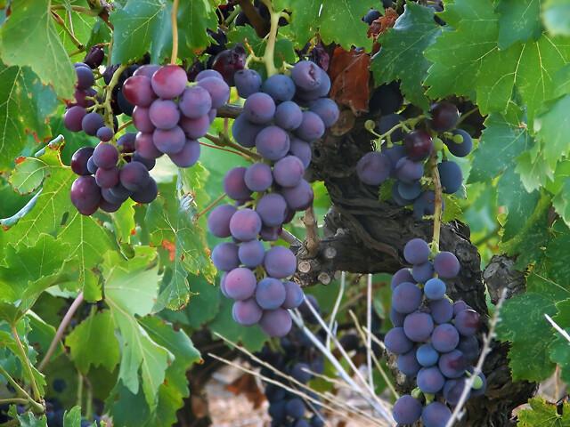 irma økologisk vin