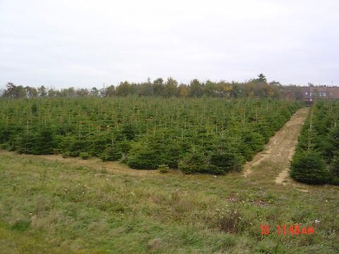 Juletræskultur sælges eller udlejes, Normannsgran